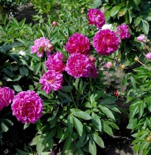 Edelpfingstrose General MacMahon - Paeonia lactiflora