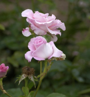 Englische Rose Marinette 30-60cm - Vorschau