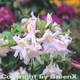 Azalee Sylphides 30-40cm - Rhododendron luteum - Alpenrose