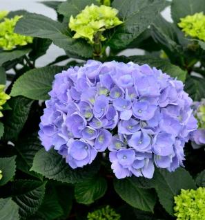 Bauernhortensie Rathen® 40-60cm - Hydrangea macrophylla