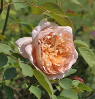 Englische Rose Tea Clipper 30-60cm