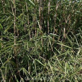 Gartenbambus Great Wall 100-125cm - Fargesia nitida