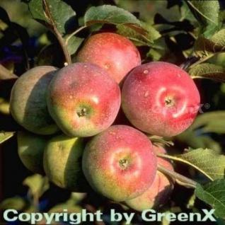Apfelbaum Florina 60-80cm - feinwürzig und süßsauer