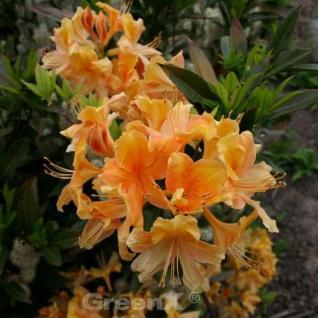 Azalee Goldpracht 30-40cm - Rhododendron luteum - Alpenrose