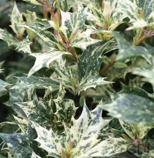 Herbstduftblüte Tricolor 20-25cm - Osmanthus heterophyllus