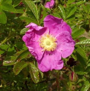 Glanzapfelrose 30-40cm - Rosa rugotida