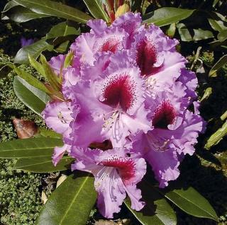 Großblumige Rhododendron Kabarett 60-70cm - Alpenrose