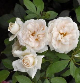 Hochstamm Rose Lions Rose 80-100cm