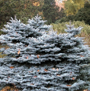 Zwergblaufichte 30-40cm - Picea pungens