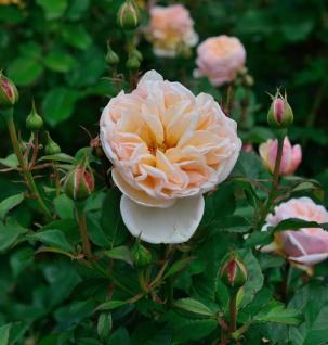 Hochstamm Rose Alexandrine 80-100cm