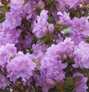 Hochstamm Japanische Azalee Elsie Lee 80-100cm - Rhododendron obtusum - Zwerg Alpenrose