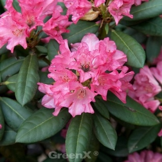 INKARHO - Rhododendron Leuchtfeuer 40-50cm - Alpenrose