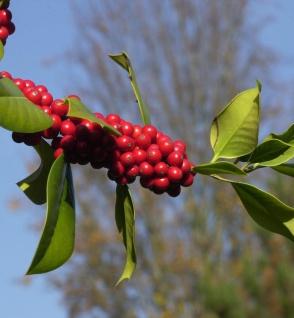 Fruchtende Stechpalme Ilex 100-125cm - ilex aquifolium