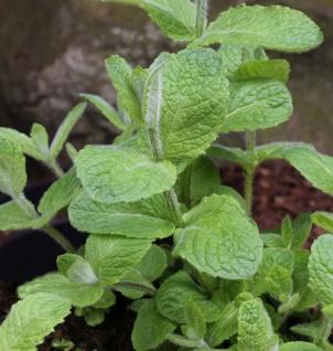 Minze Apfelminze - Mentha suaveolens
