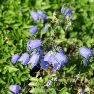 Zwerg Glockenblume Jingle Blue - Campanula cochleariifolia