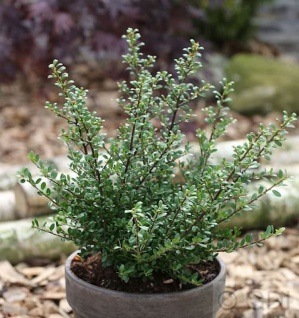 Niedriger Bergilex Stechpalme 50-60cm - ilex crenata
