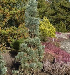 Säulenkiefer 50-60cm - Pinus sylvestris