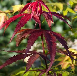 Roter Schlitzahorn Ornatum 30-40cm - Acer palmatum