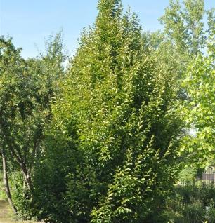 Säulen Hainbuche 125-150cm - Carpinus betulus Fastigiata