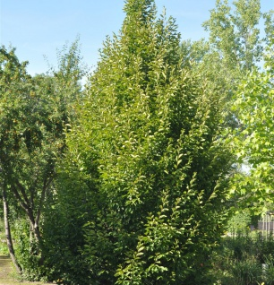 Säulen Hainbuche 60-80cm - Carpinus betulus Fastigiata