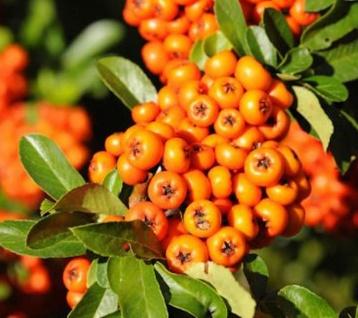 Hochstamm Feuerdorn Orange Charmer 100-125cm - Pyracantha