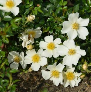 Minirosen Sonnenröschen 15-20cm