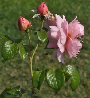 Englische Rose Strawberry Hill 30-60cm