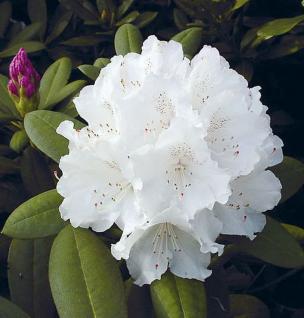 Rhododendron Schneekrone 30-40cm - Alpenrose