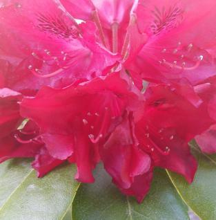 INKARHO - Großblumige Rhododendron Cherry Kiss® 30-40cm - Alpenrose