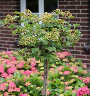 Hochstamm Echter Schneeball 100-125cm - Viburnum opulus Roseum