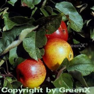 Apfelbaum Goldrenette von Blenheim 60-80cm - knackig und großzellig