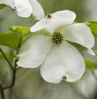 Amerikanischer Blumenhartriegel 80-100cm - Cornus florida