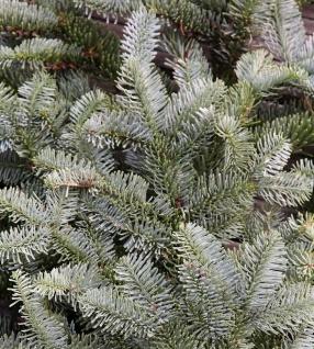 Silbertanne Wiesmoor Nixe 40-50cm - Abies procera