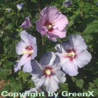 Rosen-Eibisch Pink Giant 80-100cm - Hibiscus syriacus