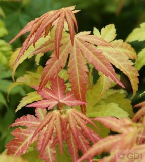 Fächerahorn Orange Dream 80-100cm - Acer palmatum