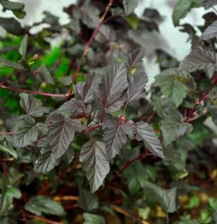 Blasenspiere Darts Red 80-100cm - Physocarpus opulifolius