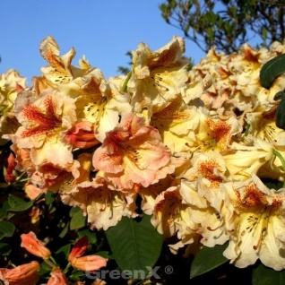 INKARHO - Großblumige Rhododendron Peggy 40-50cm - Alpenrose