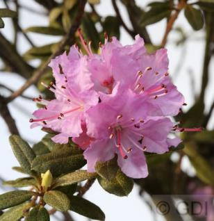 Lappland Alpenrose 20-25cm - Rhododendron lapponicum