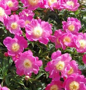 Edelpfingstrose Wladyslawa - Paeonia lactiflora