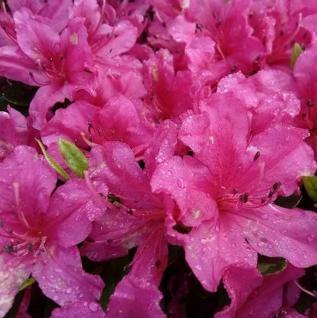 Kriechende Immergrüne Zwerg Azalee Pirin 25-30cm - Rhododendron nakaharai