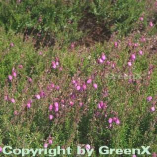 10x Irische Heide Atropurpurea - Daboecia cantabrica