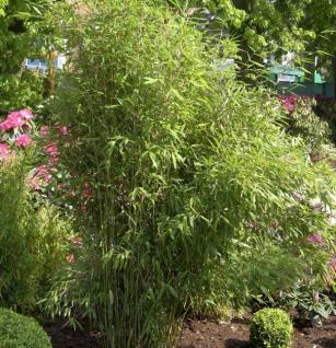 Gartenbambus Simba 100-125cm - Fargesia murielae