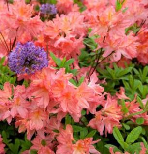 Azalee Gena Mae 40-50cm - Rhododendron luteum - Apenrose
