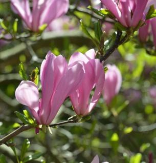 Hochstamm Magnolie Royal Crown 100-125cm - Magnolia liliiflora