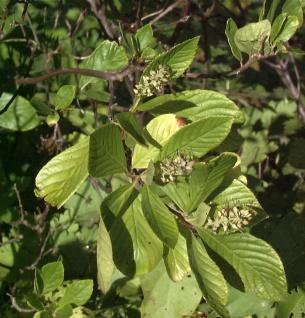 Silberkerzenstrauch Pink Spire 40-60cm - Clethra alnifolia
