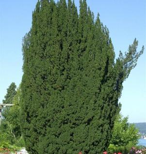 Grüne Säuleneibe 20-25cm - Taxus baccata Fastigiata