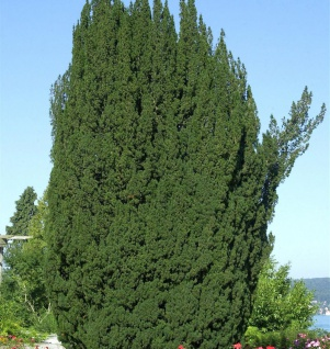 Grüne Säuleneibe 30-40cm - Taxus baccata Fastigiata