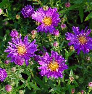 Glattblattaster Violetta - Aster novi belgii