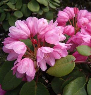 Glockenblütige Wild Rhododendron 40-50cm - Rhododendron orbiculare - Vorschau