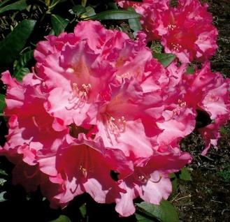 Hochstamm Rhododendron Kalinka 80-100cm - Alpenrose